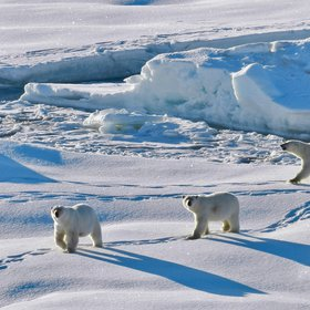 Polar bears in North-East Greenland