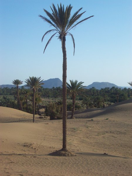 The palm grove between extinction threat... and protection efforts