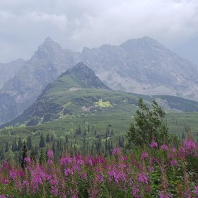Fireweed and the Tatra Mts.