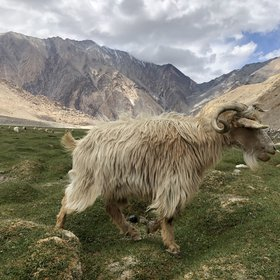 Pasmina goat herding in the Karakorum