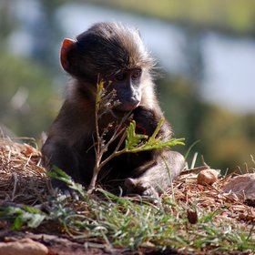 Cape baboon offspring (South Africa)