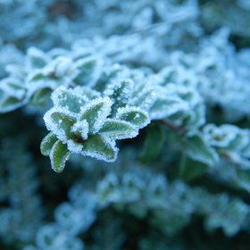 Frost over the leaves of a bush
