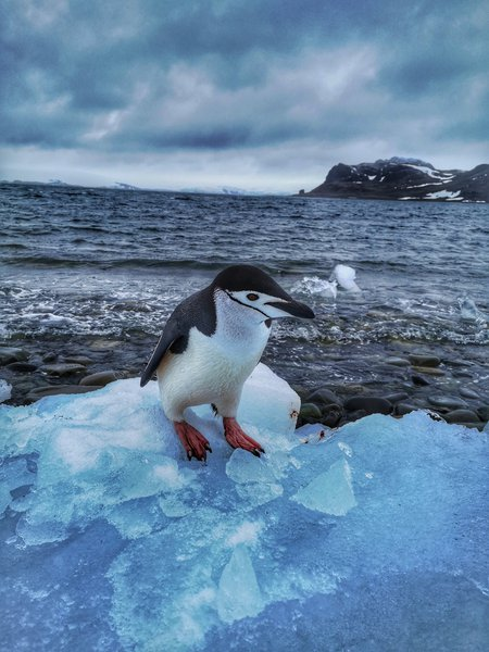 Curious chinstrap penguin