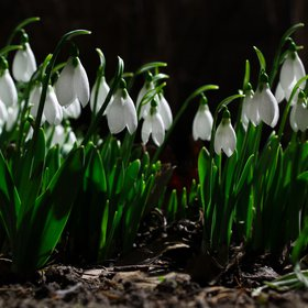 Galanthus, the first messengers of Spring.