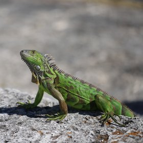 Still-looking iguana at the Vizcaya Garden in Miami