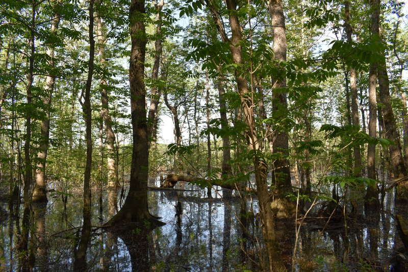 Flooded forest of riparian black ash