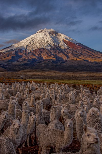 Lovely but Deadly Alpacas