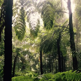 Unique fern forests - ancient and worthy of protection
