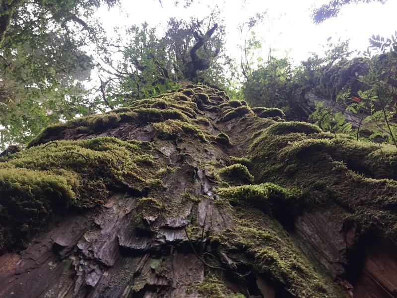 Alerce - Earth's (almost) oldest trees