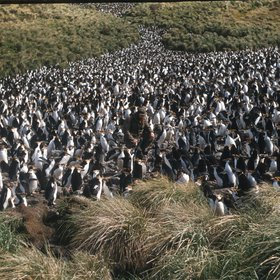 A sea of penguins, Macquarie Island, 1959