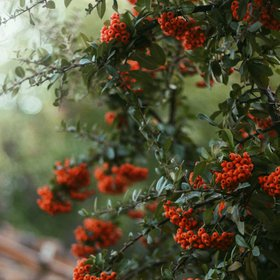 The magical evergreen shrubs; Pyracantha